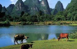 Buffalo around Li River